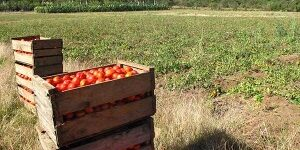 Tomatoes in the field