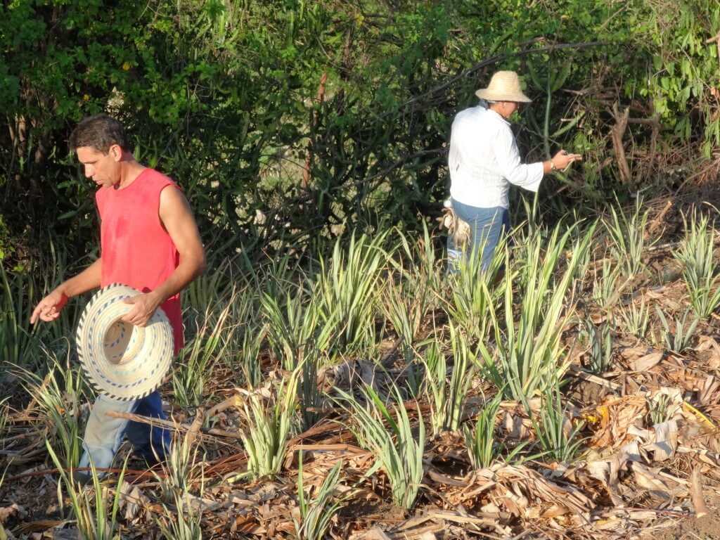 Over 850 pineapples were planted
